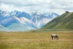 Horse feeding grass in mountains Stock Photo
