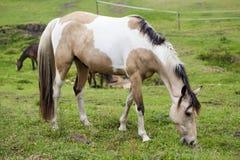 Horse feeding. Stock Photos