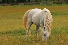 Horse feeding on grass royalty free stock photos