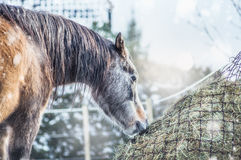 Horse feeding on Hay net on frosty winter day with snow Royalty Free Stock Images