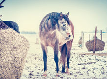 Horse feeding on Hay net on frosty winter day with snow Royalty Free Stock Photography