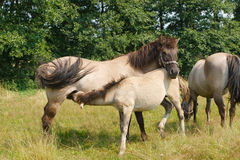 Horse feeding her foal Royalty Free Stock Photography