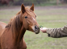Horse feeding Royalty Free Stock Photos