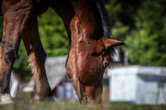 Horse feeding. Peacefull horse on the field Stock Photography