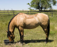 Horse Feeding on Ranch Royalty Free Stock Photo