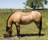 Horse Feeding on Ranch Royalty Free Stock Photo