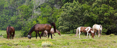 Horse feeding.s. Horses feeding on grass in a paddock.Horse feeding on grass in a paddock Stock Image