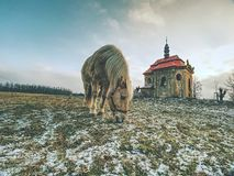 Horse feeding in winter day at chapel. Horse feeding on meadow in winter day. Old church or chapel on hill in background warm fur village tired stud steed spring stock images