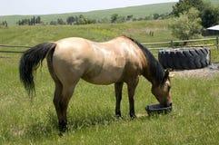 Horse Feeding on Wyoming Landscape Royalty Free Stock Photos
