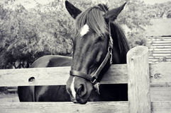 Horse by Fence royalty free stock images