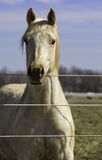 White horse at fence Royalty Free Stock Photos