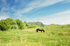 Horse in field Royalty Free Stock Photo