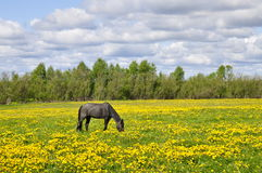 Horse in field Stock Photography