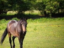 Horse in the field Royalty Free Stock Photo