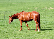 Horse and Field Royalty Free Stock Photography