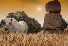 Horse in field. Horse in the field, riding among the wheat royalty free stock photo