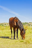 Horse in the field Royalty Free Stock Photography