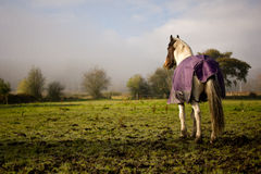 Horse In Field Royalty Free Stock Images