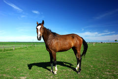 Horse in a field Stock Photos