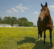 Horse in field. A beautiful brown horse grazes in a paddock full of wild flowers Royalty Free Stock Photography