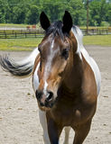 Horse in field Royalty Free Stock Image