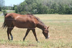 Horse in field. Full shot of a horse in a field behind a wire fence Royalty Free Stock Photos