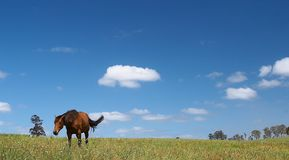 Horse in field. And blue sky royalty free stock images