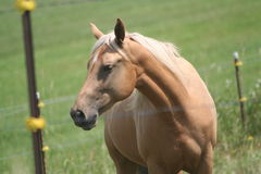 Horse in the field. A beautiful brown horse behind the fence in a field Royalty Free Stock Images