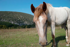 Horse in the field. Royalty Free Stock Image