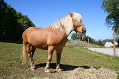 Horse in a field. Horse standing in a field in Norway stock images