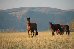 Horse field autumn Royalty Free Stock Images