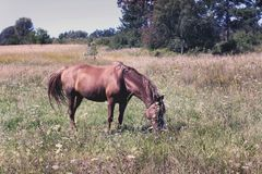 Horse in the field. A beautiful horse stock photography