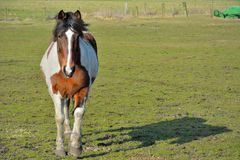 Horse in a field Royalty Free Stock Photos