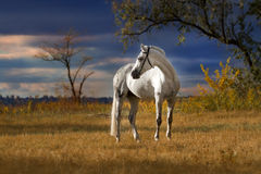 Horse  on field. Beautiful white orlov trotter on autumn field against dark stormy sunset sky Stock Photography