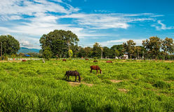 Horse in field. And blue sky Royalty Free Stock Photos