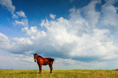 Horse on field with blue sky and white clouds Royalty Free Stock Images