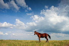 Horse on field with blue sky and white clouds Stock Photo