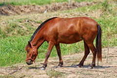 Horse on The Field Royalty Free Stock Image