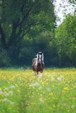 Horse in a field of buttercups Royalty Free Stock Photography