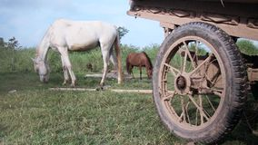 Horse , field,   cambodia, southeast asia stock video footage
