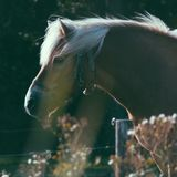 Horse in the field, close up, Ameland wadden island Holland the Netherlands stock photo