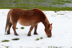 Horse in the field covered by the snow Royalty Free Stock Images