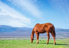 Horse on field Royalty Free Stock Image