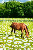 Horse in Field of Daisies Royalty Free Stock Photos