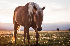 Horse in Field with Dandelions at Sunset Royalty Free Stock Images