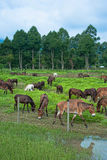 Horse in field. Horse eat grass in rice field Stock Photos