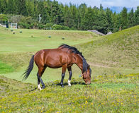 A horse in a field eating grass and relaxing. On a sunny day Stock Photo