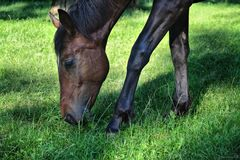 Horse in a field eating green grass Royalty Free Stock Photo