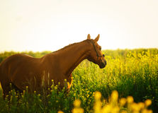 Horse in the field in the evening Stock Image