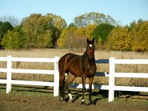 Horse in field in fall. Horse in field on fall morning in nebraska Royalty Free Stock Image